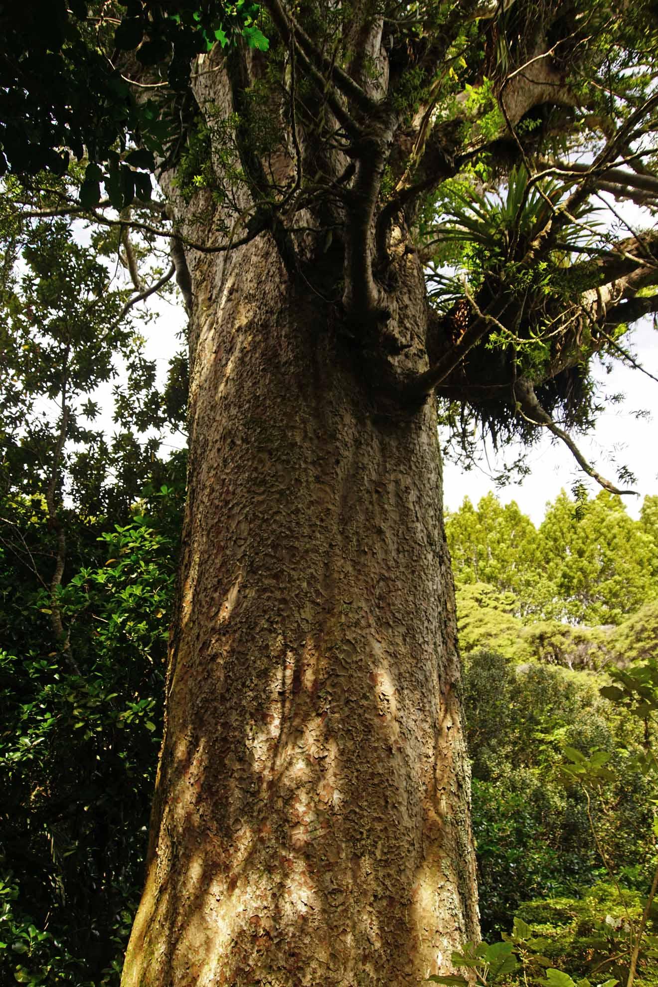 Kauri auf Coromandel