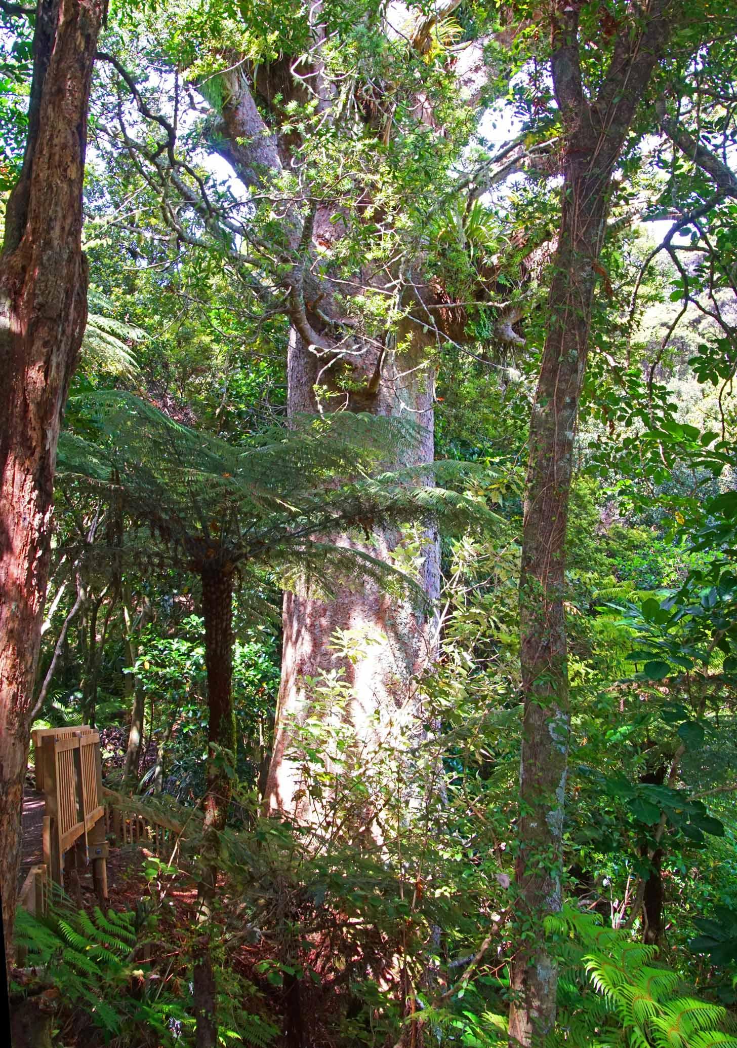 Der Kauri wird wohl auch noch die im 15. Jahrhundert ausgestorbenen Moas und Haastadler erlebt haben.