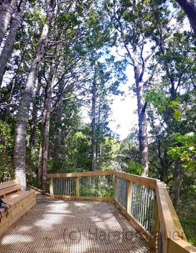 Auch hier schützen Holzwege das Wurzelwerk der Kauri