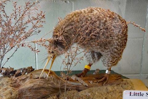 Ein Kiwi ist tagsüber lebend nicht zu beobachten