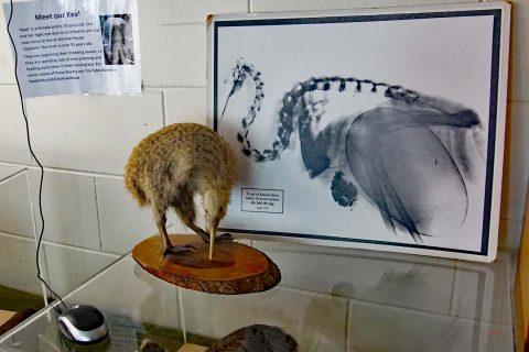 Röntgenaufnahme eines Kiwi