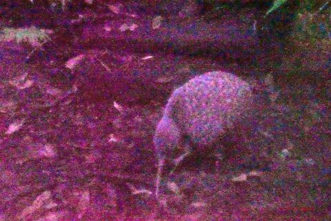 ISO 24 000 macht es möglich, auch in der Dämmerung einen Kiwi ohne Blitz zu fotografieren.
