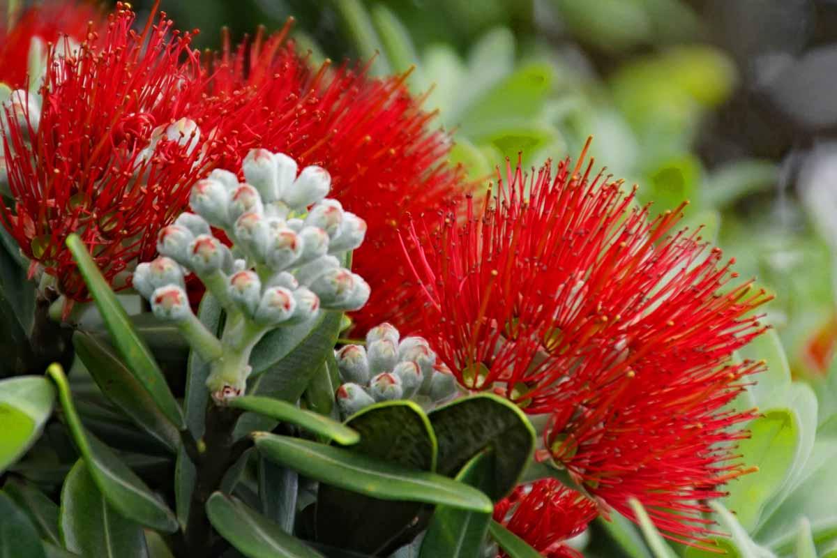 Pohutakawa Blüte Te Araroa
