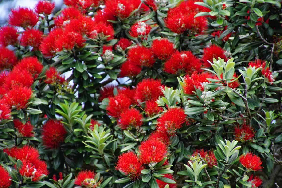 Pohutakawa Blüten