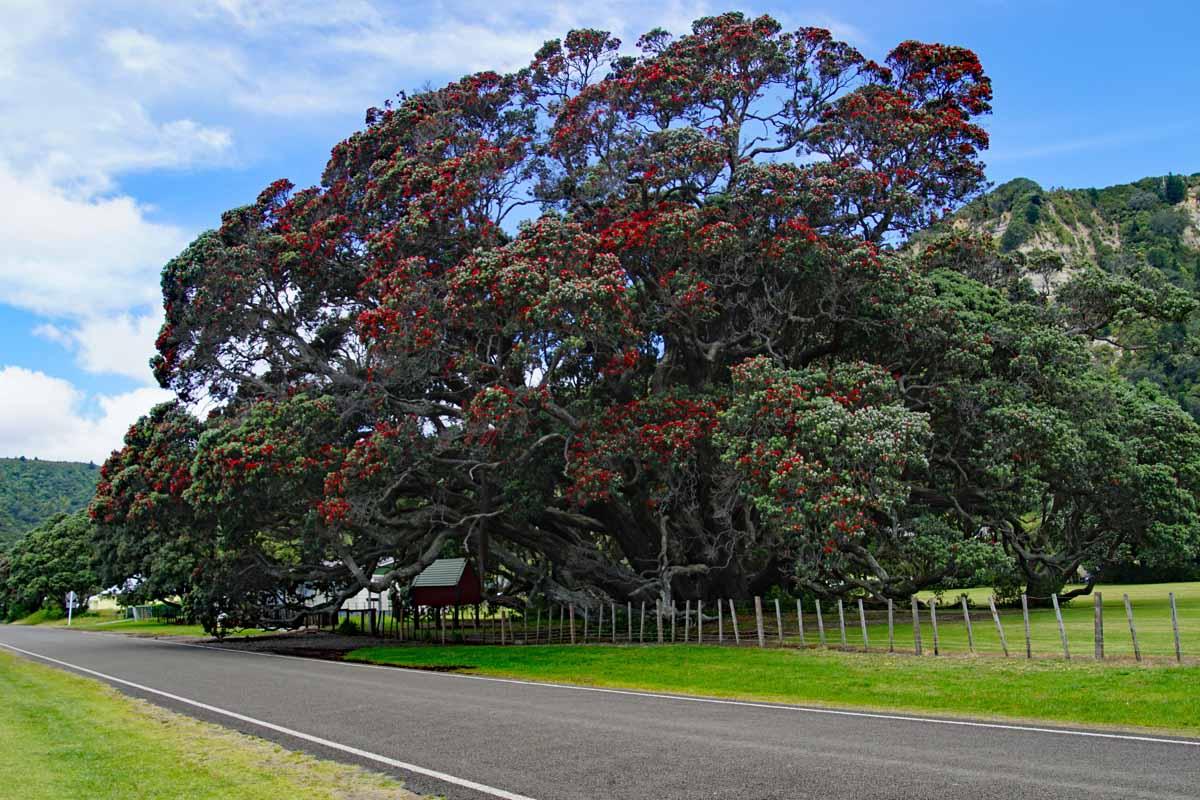 Pohutakawa - Te Araroa