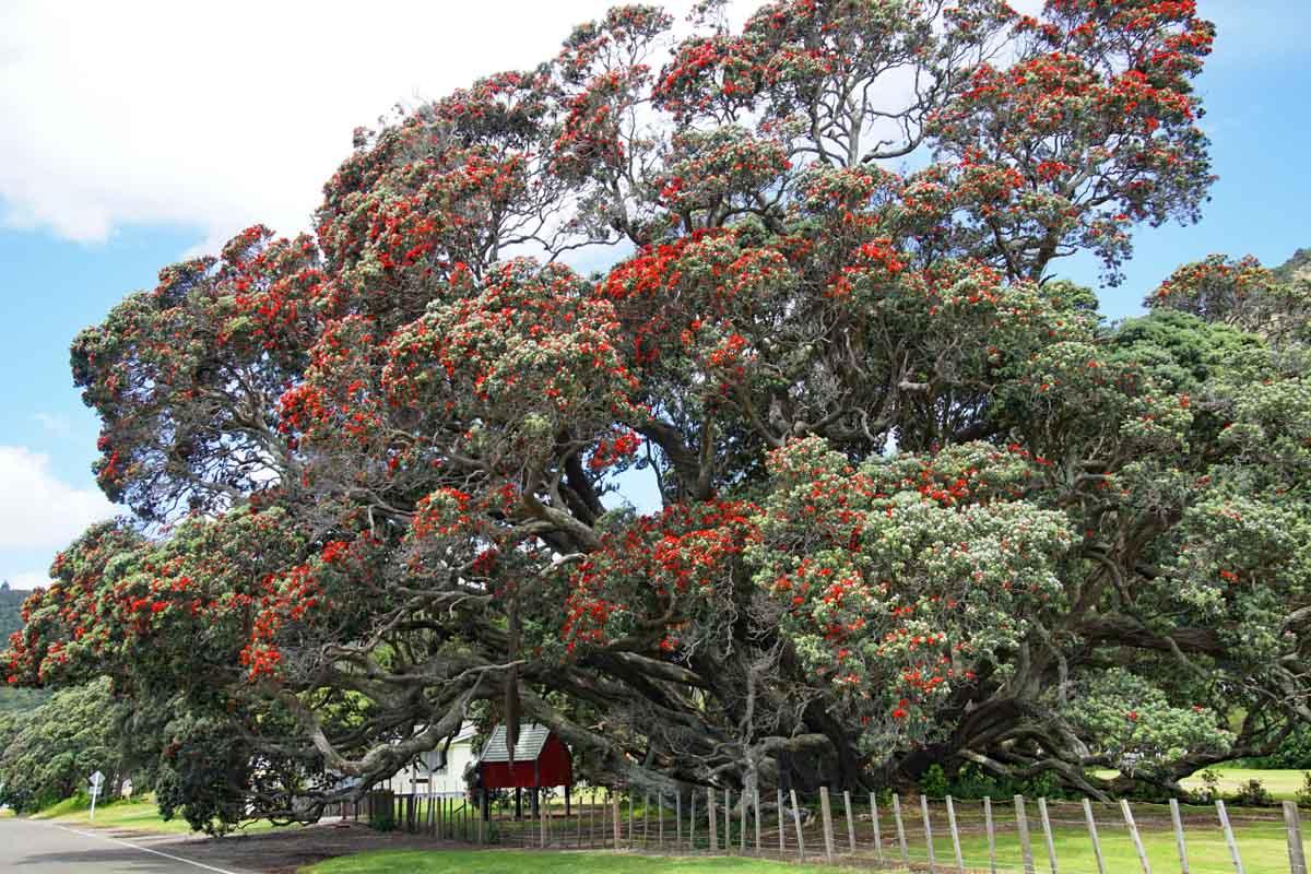 Te Araroa - Pohutakawa