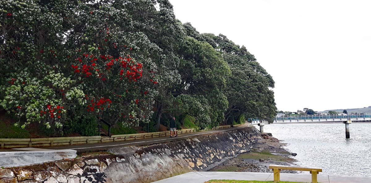 Raglan mit dem Neuseeländischem Weihnachtsbaum Pohutukawa