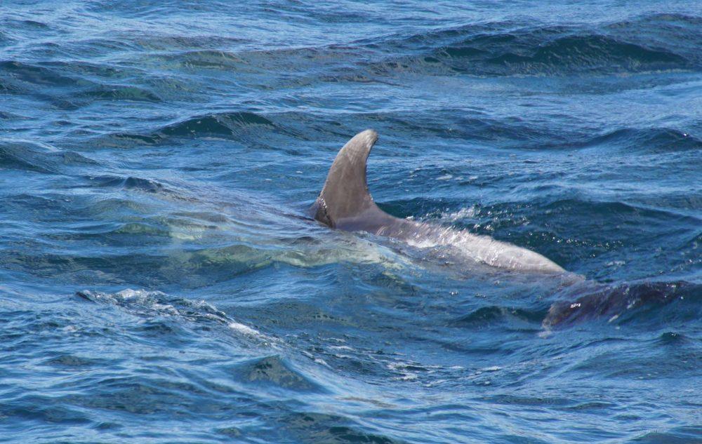 Bay of Islands Neuseeland Delphine