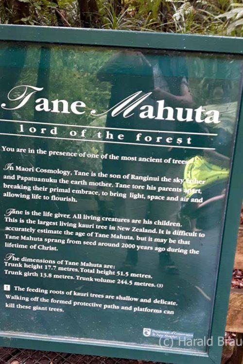Waiiporua-Kauri-Forest13