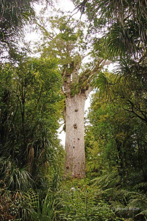 Waiiporua-Kauri-Forest15