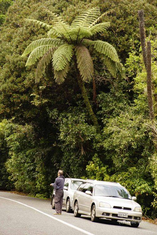 Waiiporua-Kauri-Forest26