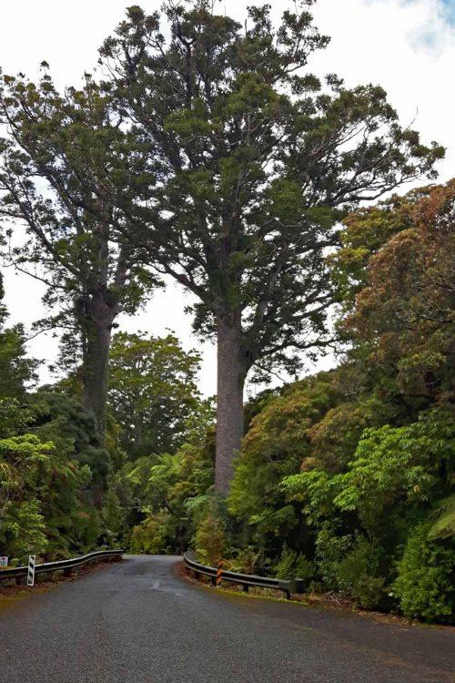 Waiiporua-Kauri-Forest30