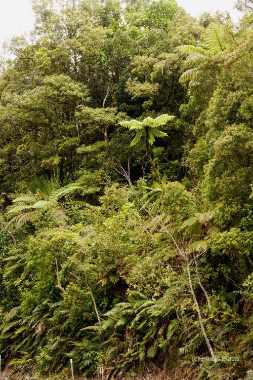 Waiiporua-Kauri-Forest31