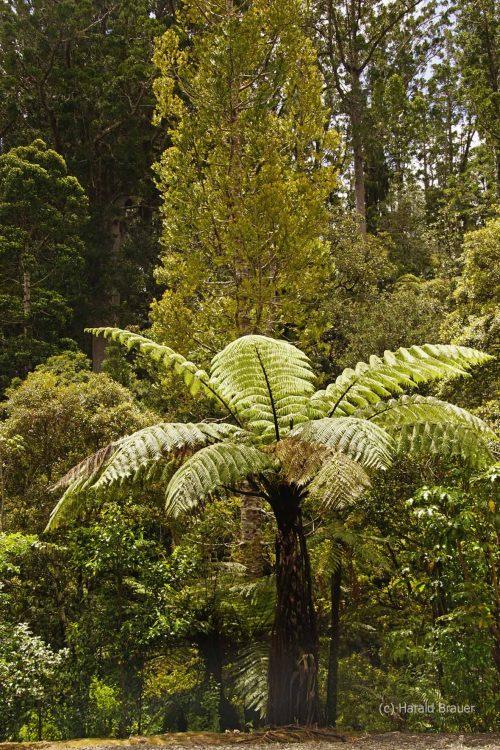 Waiiporua-Kauri-Forest36